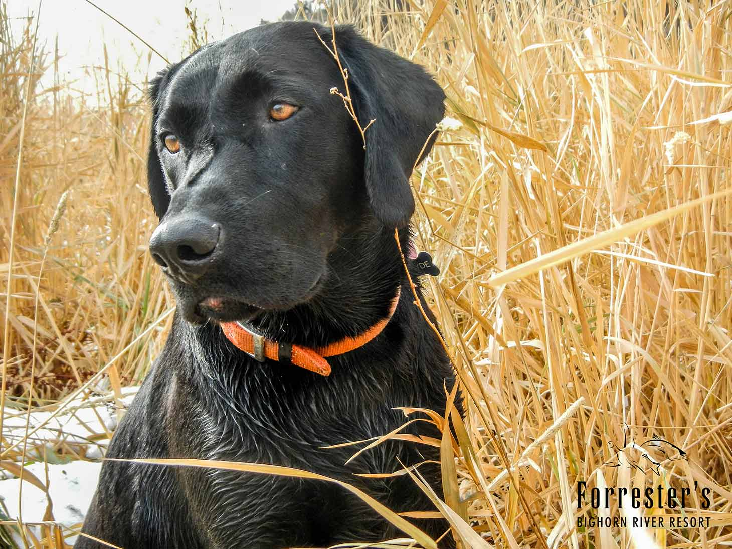 waterfowl hunting, Big Horn River, Duck dogs, black labs, Forrester's Bighorn River Resort, duck hunting